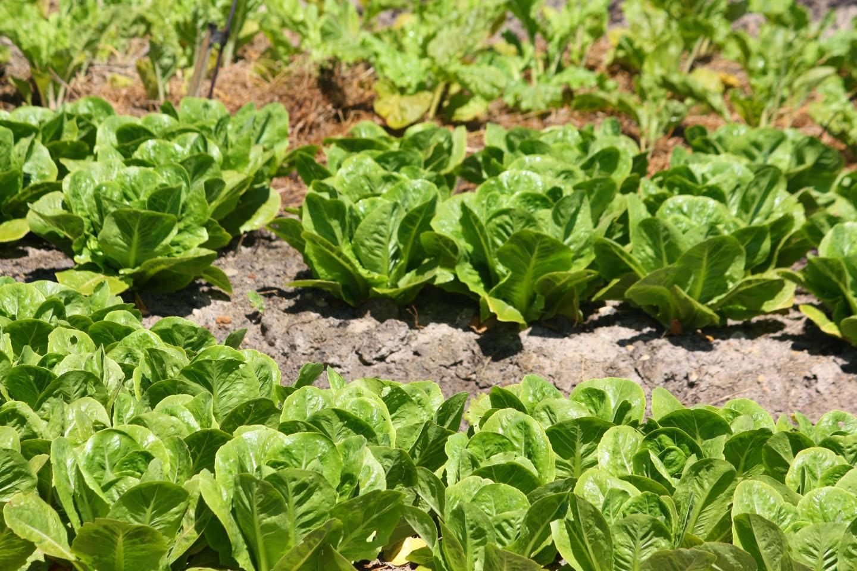 Growing-Organic-Vegetables